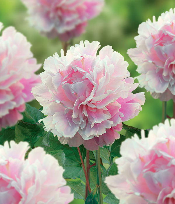 Paeonia Celebration