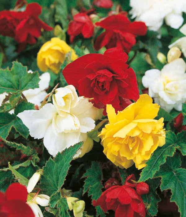 Begonia cascade Mixed