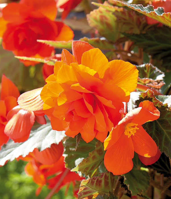 Begonia cascade Orange