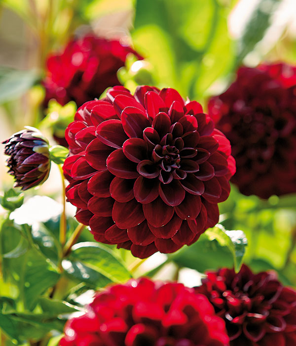 Dahlia Arabian Night