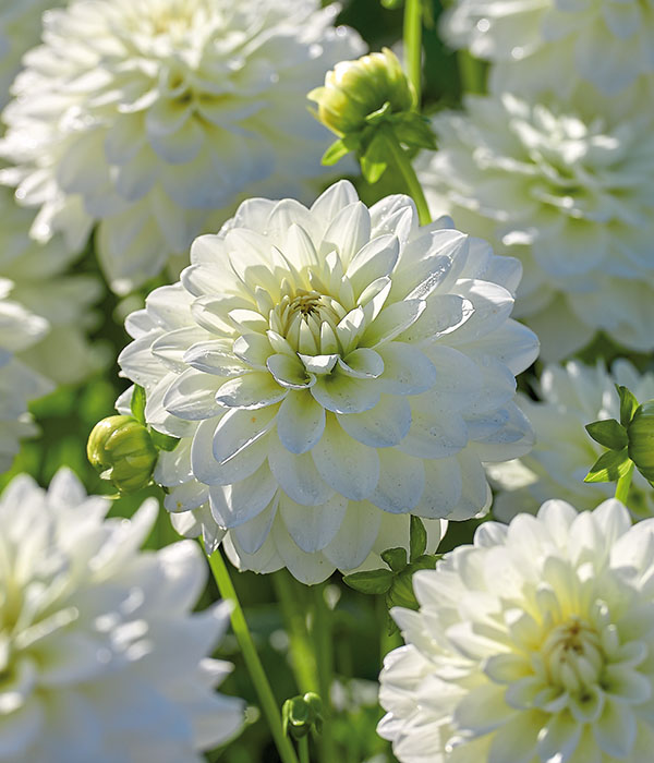 Dahlia Jewel White