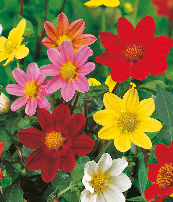 Dahlia topmix Mixed