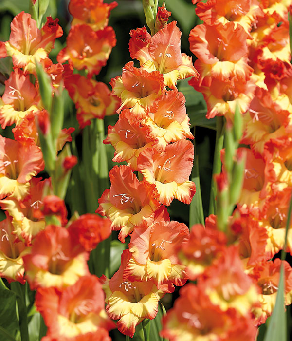 Gladiolus Princess Margaret Rose