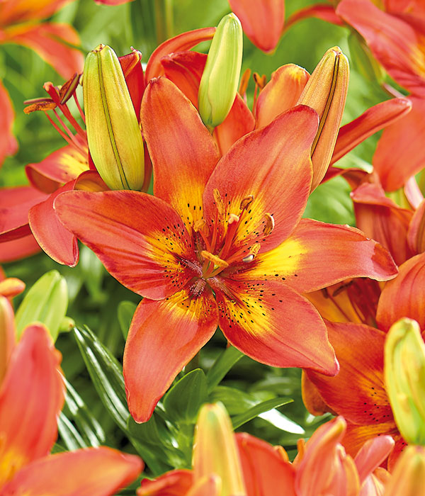 Lilium Burning Joy