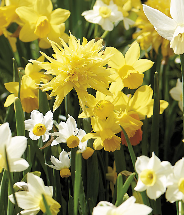 Narcissus botanical Mixed