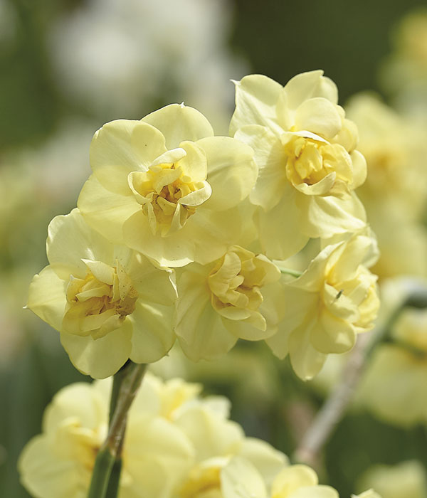 Narcissus double Yellow Cheerfulness