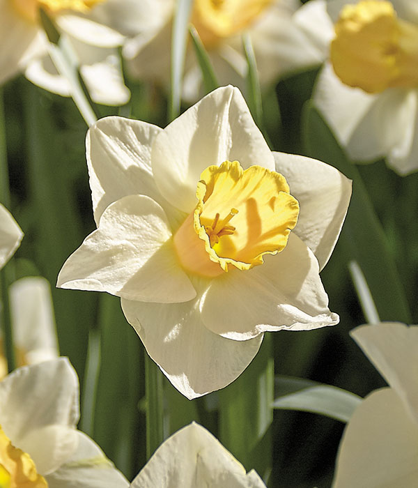 Narcissus Salome