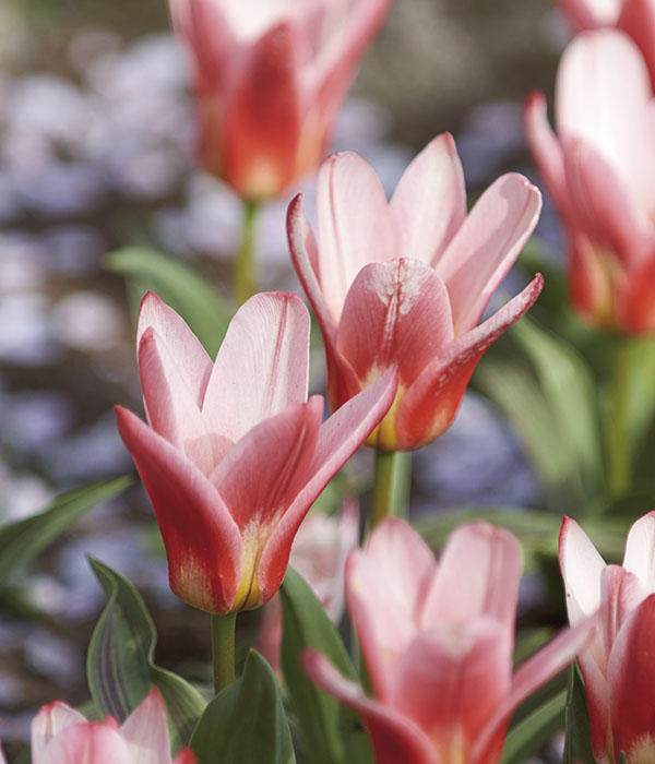 Tulipa Hearts Delight