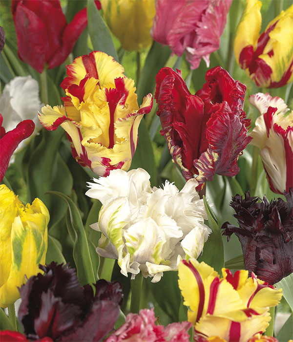 Tulipa parrot Mixed