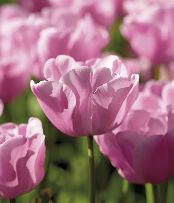 Tulipa Pink Diamond