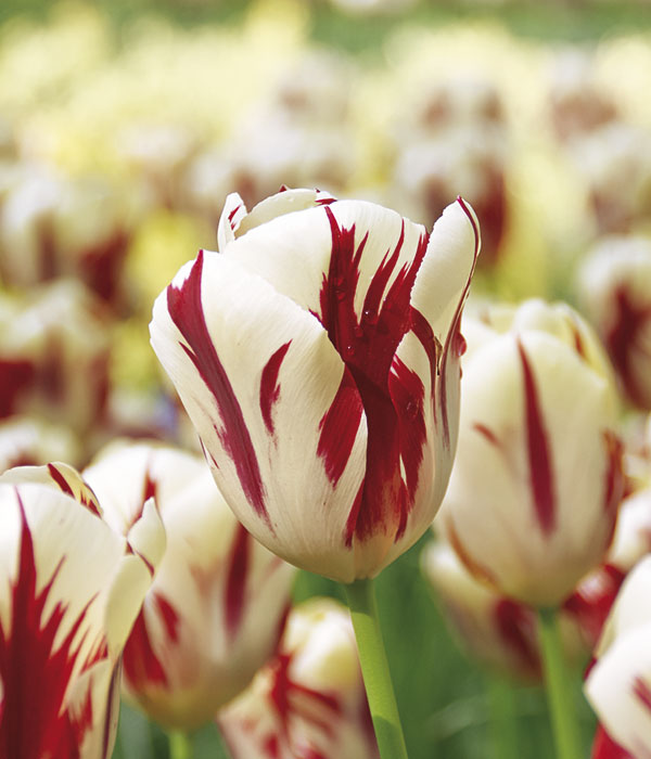 Tulipa Grand Perfection